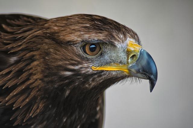 golden-eagle-2513224_640