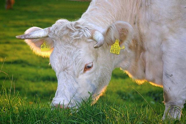happy-cows-263766_640