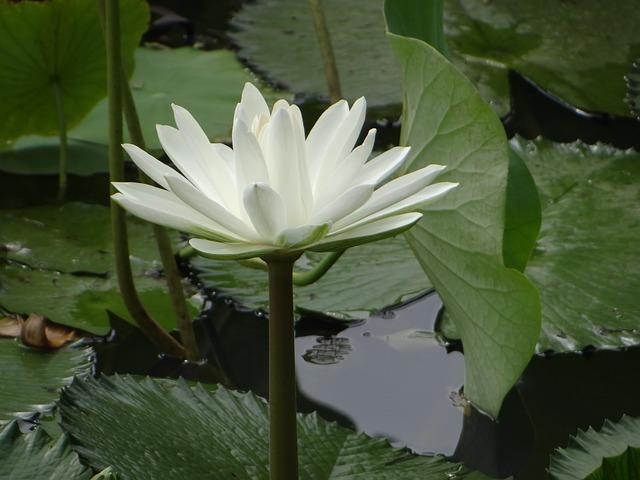 lotus-2434141_640