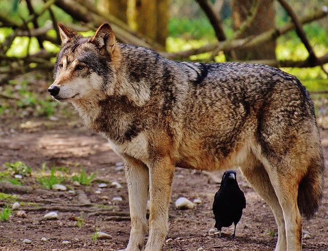 wolf-1350006_640