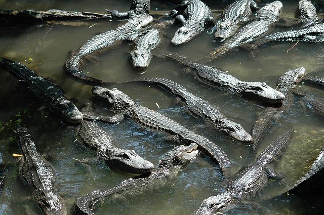 alligators-1911641_640